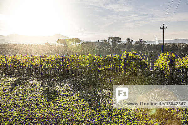 Scenic view of vineyard during sunny day