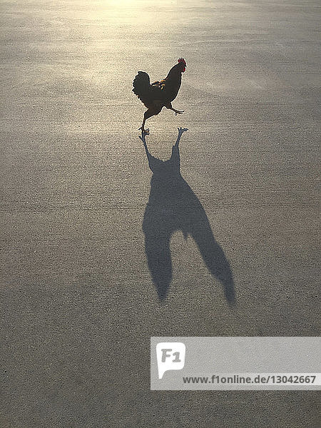High angle view of hen walking on road during sunny day