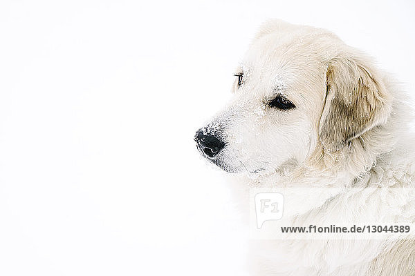 High angle view of Golden Retriever relaxing on snow covered field
