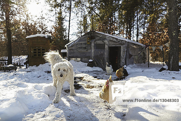 Hund und Hühner gegen Haus auf schneebedecktem Feld