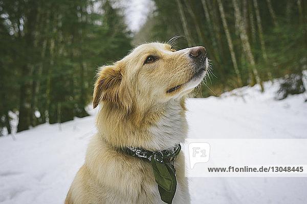 Nahaufnahme eines Hundes  der weg schaut  während er auf einem schneebedeckten Feld sitzt Nahaufnahme eines Hundes, der weg schaut, während er auf einem schneebedeckten Feld sitzt