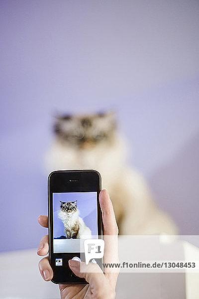 Abgetrennte Hand einer Frau  die eine Katze mit einem Smartphone fotografiert  die zu Hause auf einem Tisch an der Wand sitzt