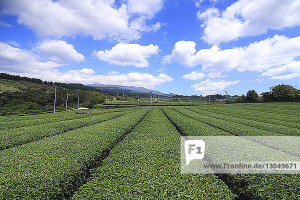 Scenic view of tea crops growing at farm against cloudy sky