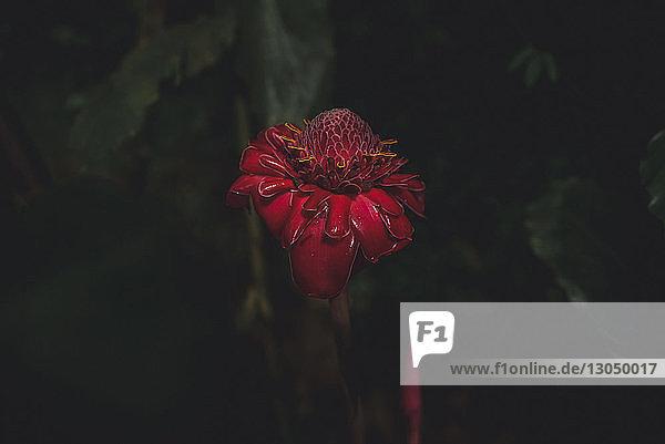 Nahaufnahme einer Fackel-Ingwerblüte im Park
