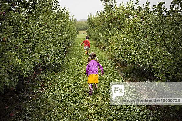 Rückansicht von verspielten Geschwistern,  die auf einem Grasfeld im Obstgarten laufen
