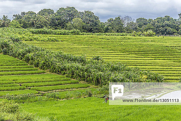 Mid distance view of farmer working in rice paddy