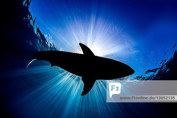 Great white shark  Guadalupe  Mexico