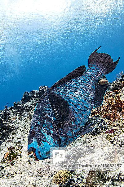 Midnight blue parrotfish  Cozumel  Quintana Roo  Mexico