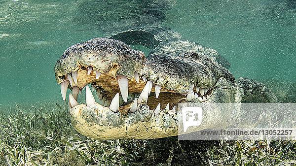 American saltwater crocodile  Xcalak  Quintana Roo  Mexico