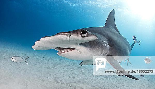 Great Hammerhead shark  Alice Town  Bimini  Bahamas
