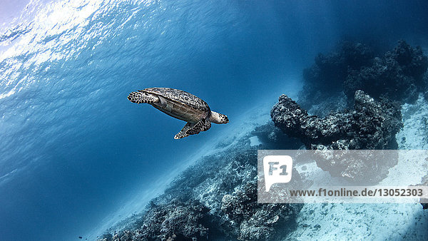 Hawksbill sea turtle  Cozumel  Quintana Roo  Mexico