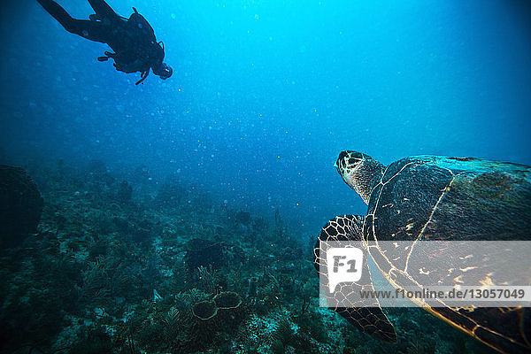 Man scuba diving with sea turtle swimming in water