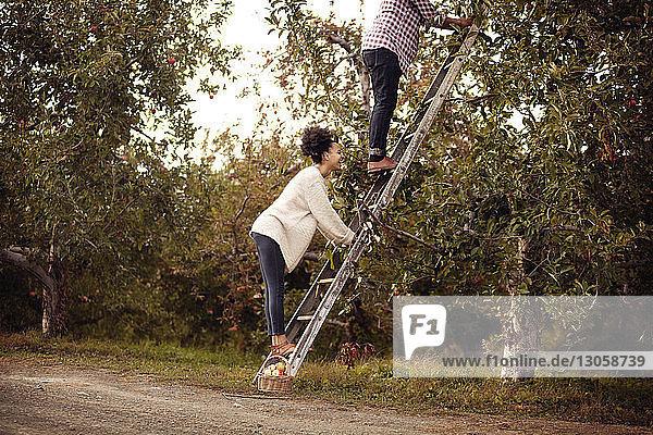 Ehepaar klettert auf Leiter in Apfelplantage