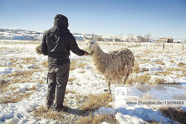 Rückansicht eines Mannes  der auf einem verschneiten Feld stehend Gras an das Lama verfüttert