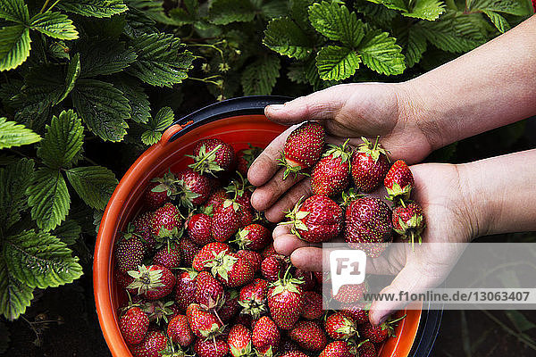 Cropped image of woman holding strawberries at farm