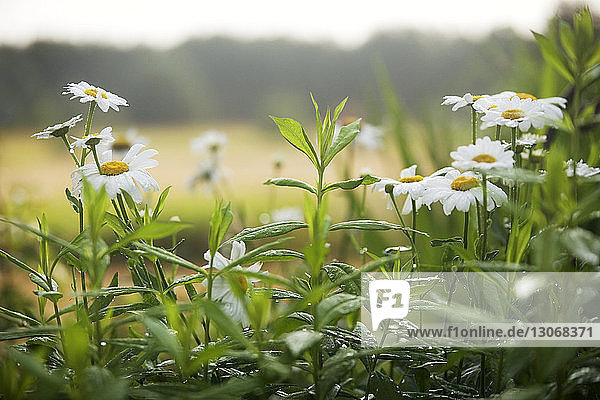 Blumen wachsen auf Grasfeld