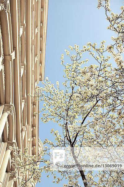 Niedrigwinkelansicht des Kirschblütenbaums vor klarem Himmel
