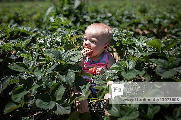 Hochwinkelaufnahme eines kleinen Mädchens  das Erdbeeren isst  während es im Sommer auf einem Bauernhof sitzt
