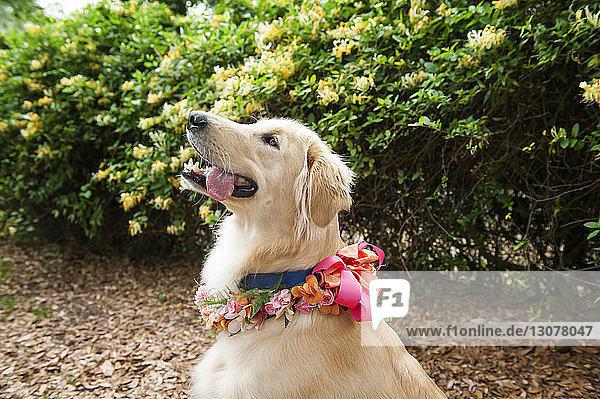 Nahaufnahme eines Golden Retrievers mit Blumen  der im Park gegen Pflanzen sitzt