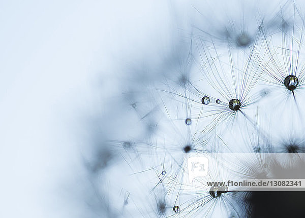 Extreme close-up of wet dandelion seed against sky during rainy season