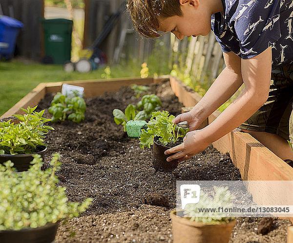 Boy planting plants in raised-bed gardening at backyard