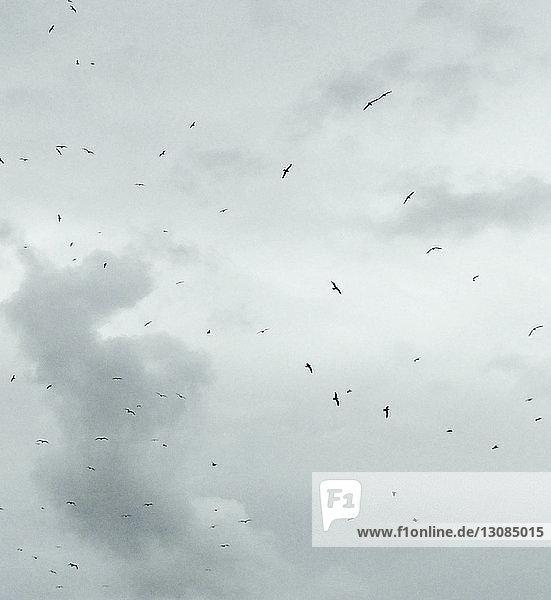 Flock of birds flying in overcast sky