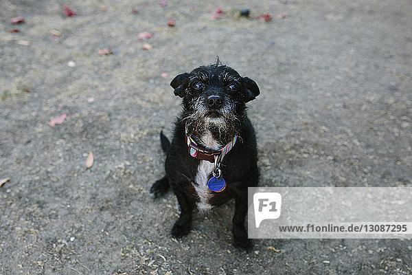 Hochwinkelporträt eines auf der Straße sitzenden schwarzen Hundes