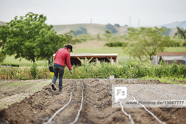 Rear view of female farmer sowing seeds on farm
