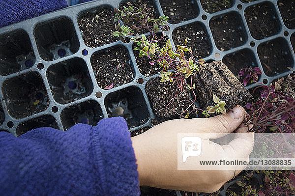 Draufsicht einer Frau  die im Gemeinschaftsgarten Setzlinge pflanzt