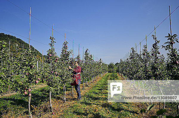 Side view of farmer picking apples while standing on grassy field at orchard