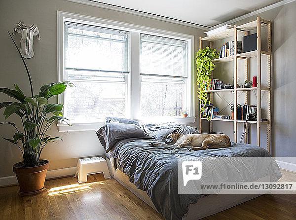 Hund schläft auf Bett gegen Fenster zu Hause Hund schläft auf Bett gegen Fenster zu Hause