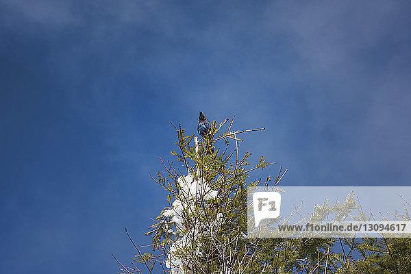 Niedrigwinkelansicht von Stellers Eichelhäher auf einem Ast vor blauem Himmel