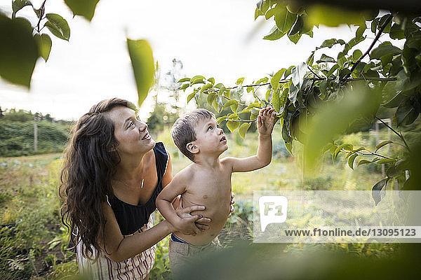 Mutter hilft hemdlosem Sohn beim Obstpflücken vom Baum im Gemeinschaftsgarten Mutter hilft hemdlosem Sohn beim Obstpflücken vom Baum im Gemeinschaftsgarten