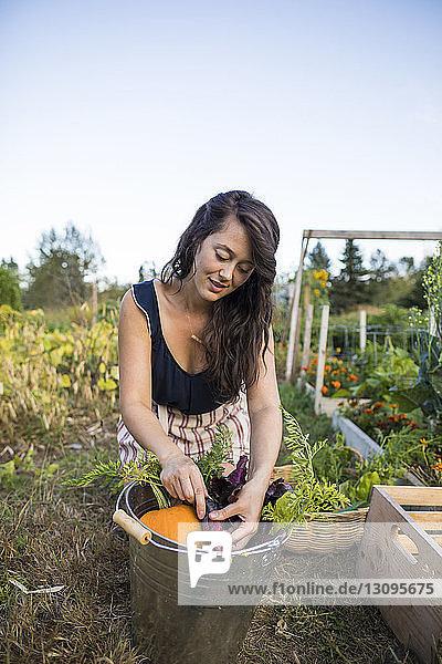 Frau wäscht Gemüse im Eimer gegen den klaren Himmel im Gemeinschaftsgarten Frau wäscht Gemüse im Eimer gegen den klaren Himmel im Gemeinschaftsgarten