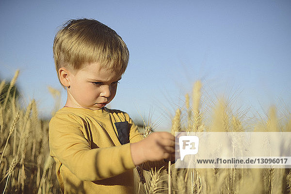 Cute boy looking at ear of wheat while standing on field
