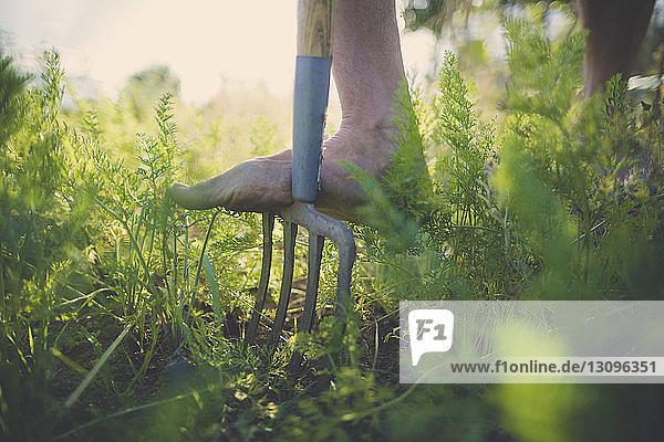 Niedriger Teil des Mannes benutzt Gartengabel im Gemeinschaftsgarten