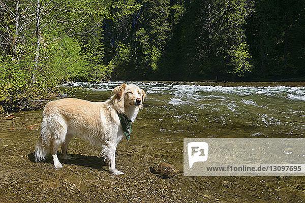 Seitenansicht eines am Fluss stehenden Hundes im Gifford Pinchot National Forest