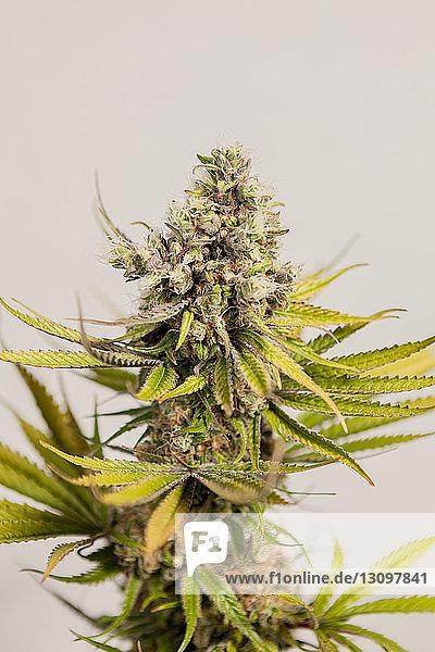 Close-up of marijuana against wall