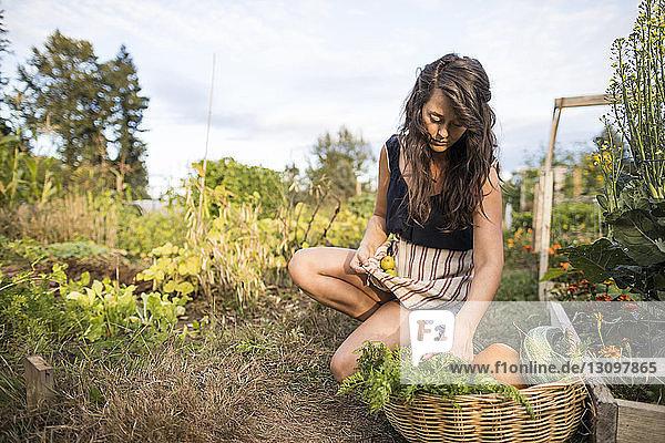 Frau trägt Gemüse in Textilien  während sie im Gemeinschaftsgarten kauert Frau trägt Gemüse in Textilien, während sie im Gemeinschaftsgarten kauert