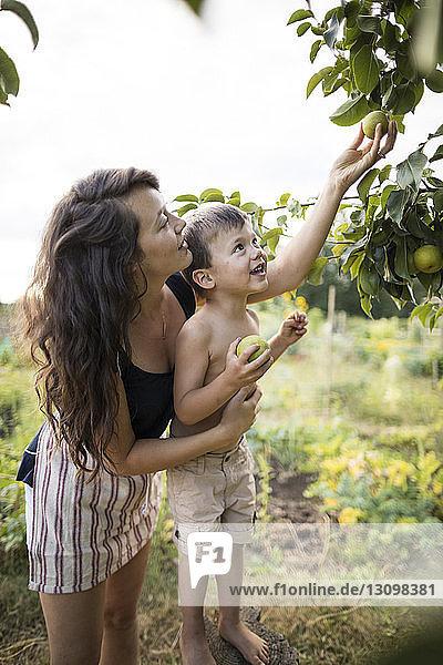 Seitenansicht einer Mutter  die einen Sohn ohne Hemd hält  während sie Früchte von den Zweigen eines Gemeinschaftsgartens pflückt Seitenansicht einer Mutter, die einen Sohn ohne Hemd hält, während sie Früchte von den Zweigen eines Gemeinschaftsgartens pflückt