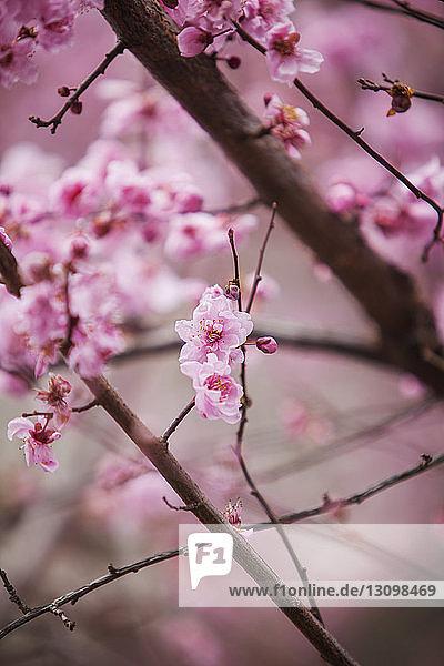 Nahaufnahme von rosa Blumen  die auf Zweigen blühen
