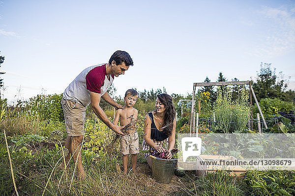 Sohn ohne Hemd hält Getreidepflanzen  während er zwischen Mutter und Vater im Gemeinschaftsgarten steht