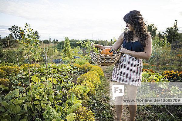 Frau sieht Gemüse an  während sie es in einem Korb gegen den klaren Himmel im Gemeinschaftsgarten trägt Frau sieht Gemüse an, während sie es in einem Korb gegen den klaren Himmel im Gemeinschaftsgarten trägt