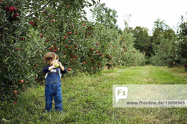 Baby boy holding apple looking away while standing on grassy field at orchard