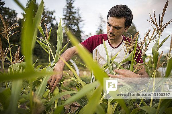 Mann pflückt Mais im Gemeinschaftsgarten Mann pflückt Mais im Gemeinschaftsgarten