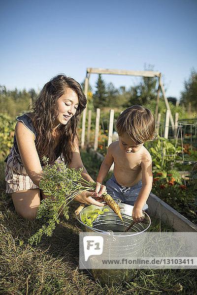 Mutter und hemdloser Sohn legen Karotte im Gemeinschaftsgarten in einen Eimer Mutter und hemdloser Sohn legen Karotte im Gemeinschaftsgarten in einen Eimer