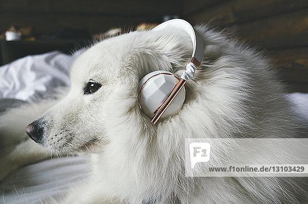 Nahaufnahme eines Pommers mit Kopfhörer und auf dem Bett sitzend