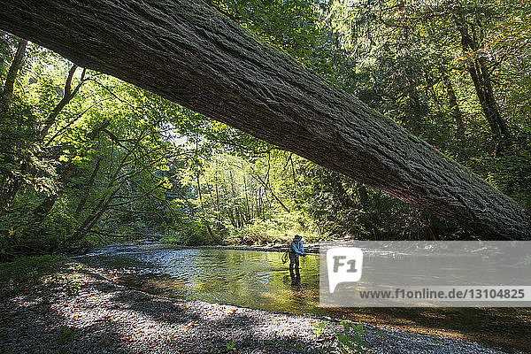 A fly fisherman casting for searun cutthroat trout on a creek on the coast of Washington  USA