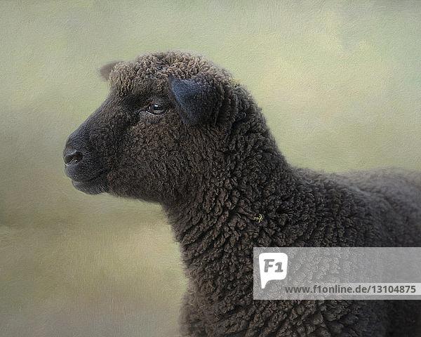 Zusammengesetztes Bild  Porträt eines schwarzen Schafes in vollem Vlies  nach links blickend
