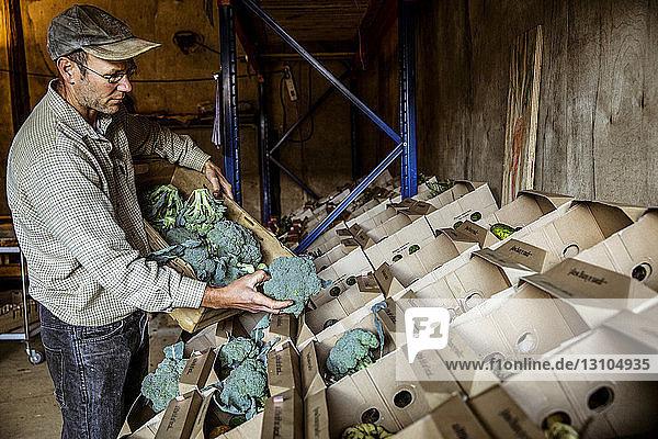 Farmer standing in a farm shop  arranging broccoli in cardboard boxes.